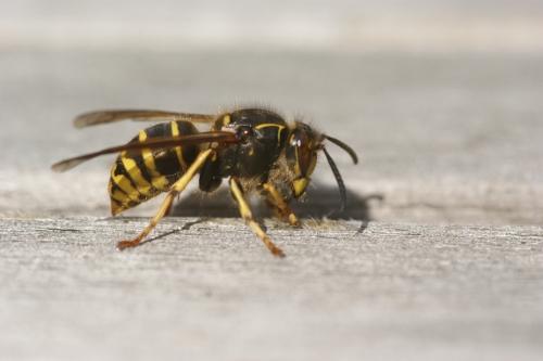 Sådan ser en hveps ud